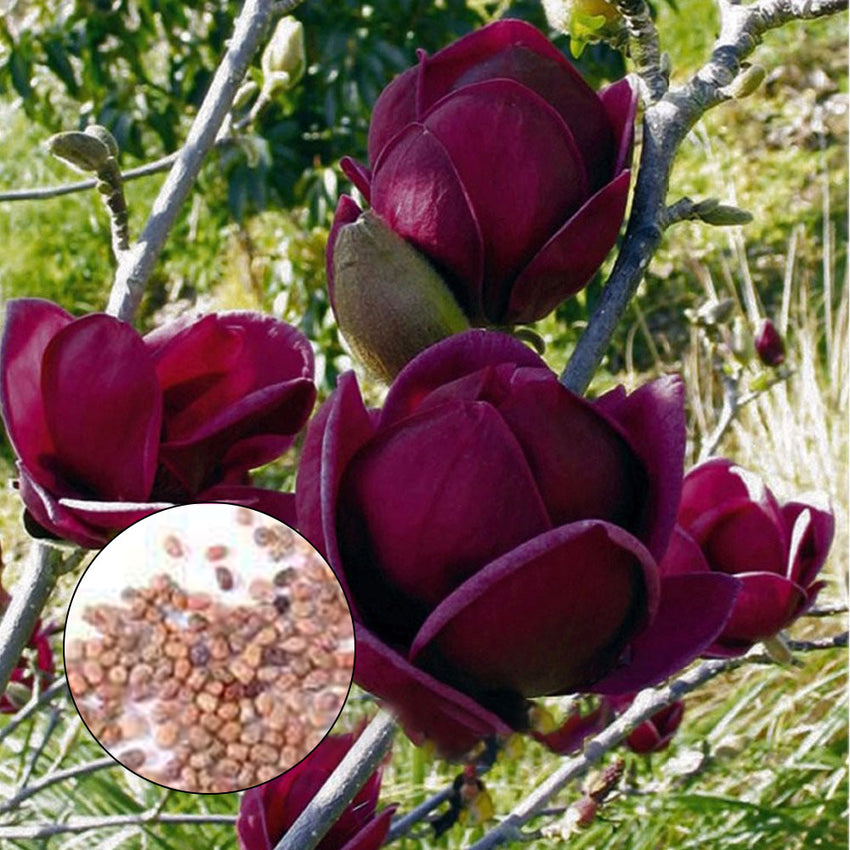 Egrow 10Pcs/Bag Magnolia Seeds Deep Purple Black Magnolia Yulan Tree Flower Tulip Tree Seeds - Slabiti