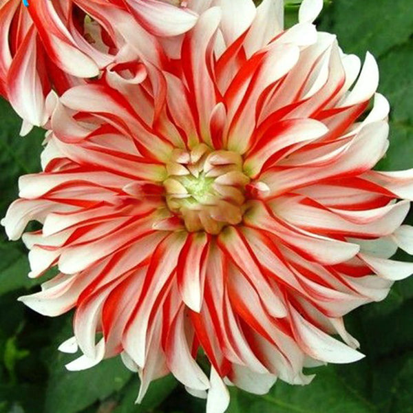 Egrow 100Pcs/Bag Rare Rainbow Chinese Peony Flowers Seeds Seeds Chinese Peony Bonsai Flower Seeds Bonsai Garden for Home Garden Planting - Slabiti