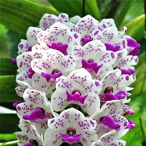 Egrow 100Pcs/Bag Cymbidium Orchid Seeds Silk Butterfly Orchid Artificial Flower Wedding Decoration - Slabiti