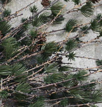 House Doctor Larch Branch with Cones