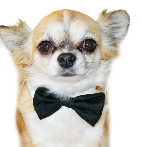 Bachelor Collar Pet Bow tie