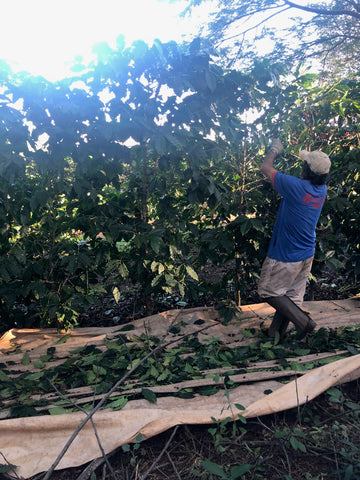 Shade grown coffee picking