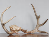 Authentic Light Brown Antlers