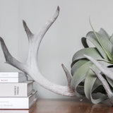 Authentic Whitetail Antlers