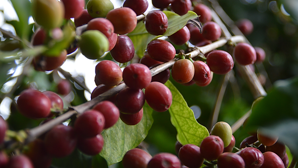 Ripe red coffee cherries on branch