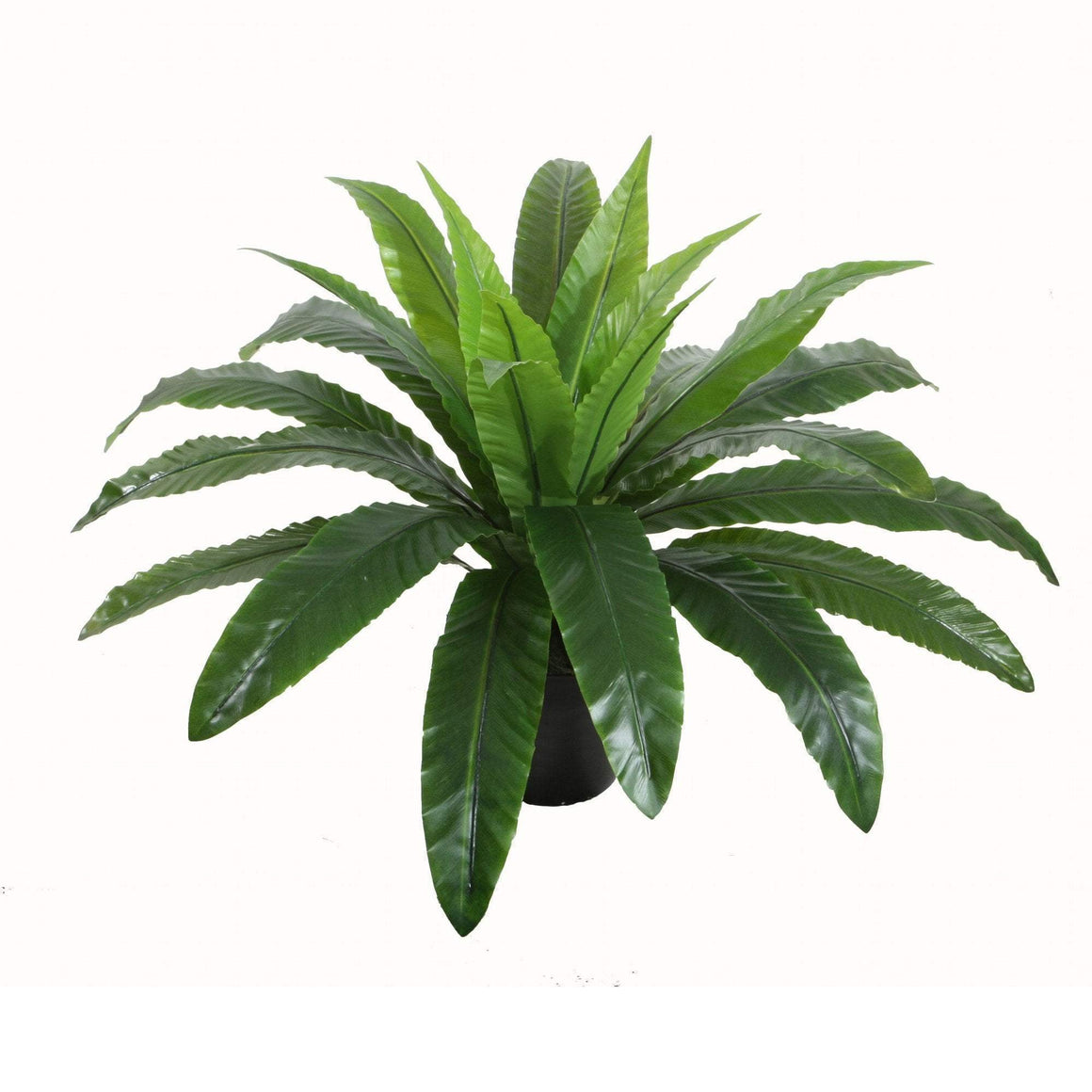 POTTED BIRD NEST FERN 55CM