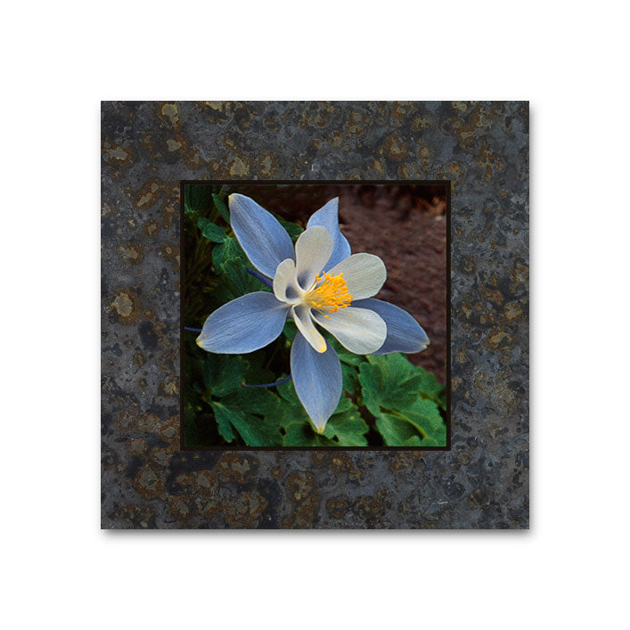 Columbine, American Basin, San Juan Mountains 4x4 Slate Coaster