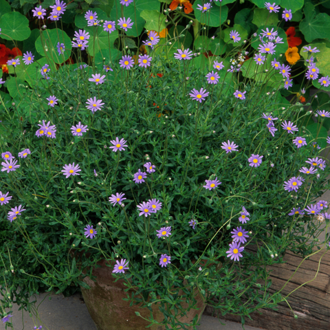 Asters - Fall flowers for pollinators