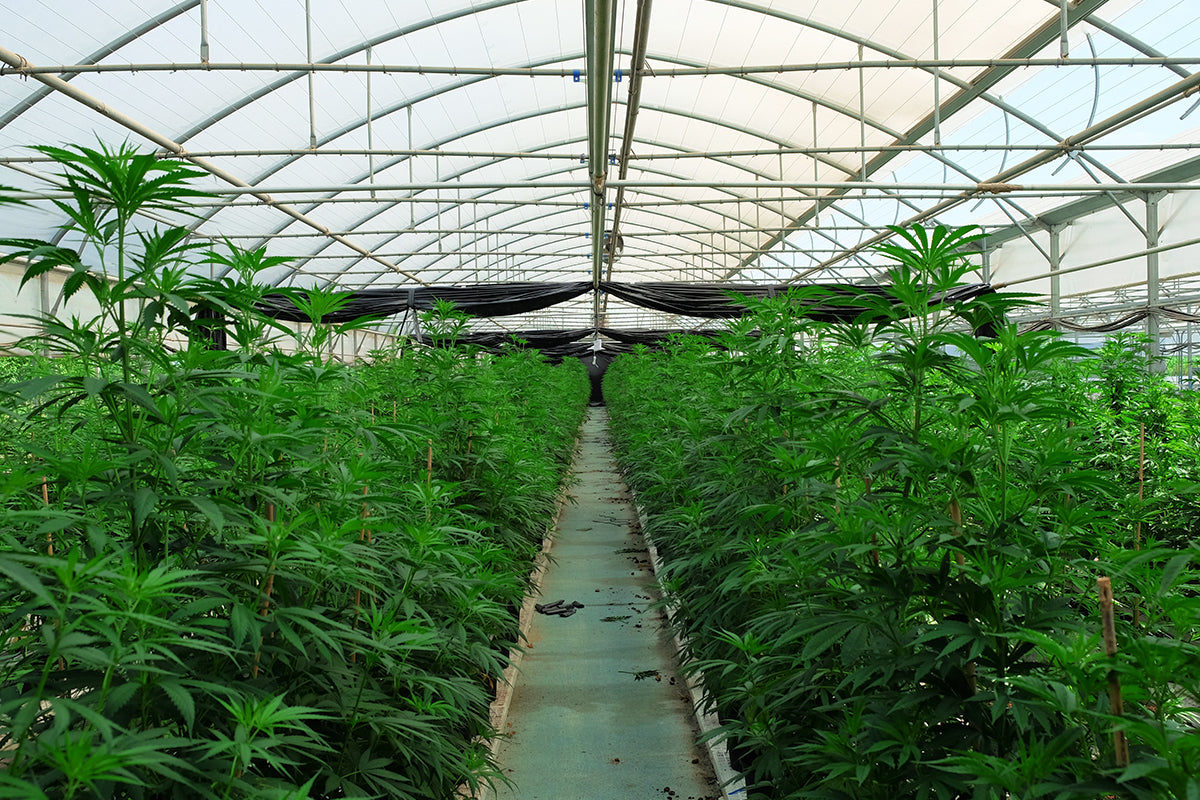 Coltivare la cannabis in greenhouse