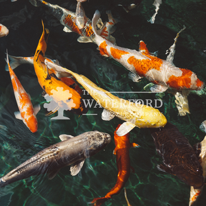 Koi Fish: Animal Photography