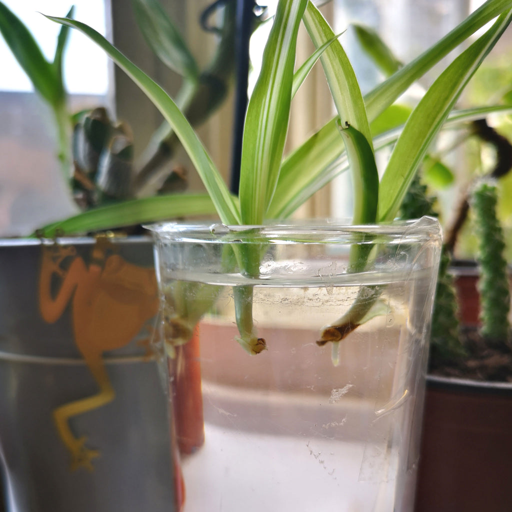 how to propagate a spider plant