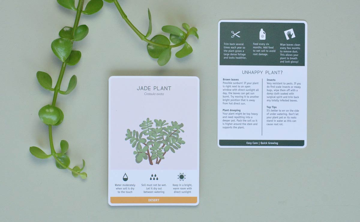 Choose Jade Plant for a Care free houseplant
