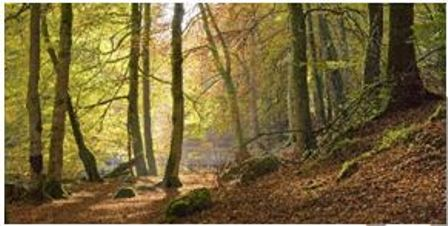 Canvas Prints - Autumn Beech Wood (120cm x 70cm)