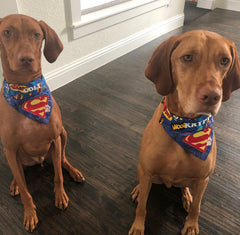 Krypto and Colt in Mydeye Superdog Bandana