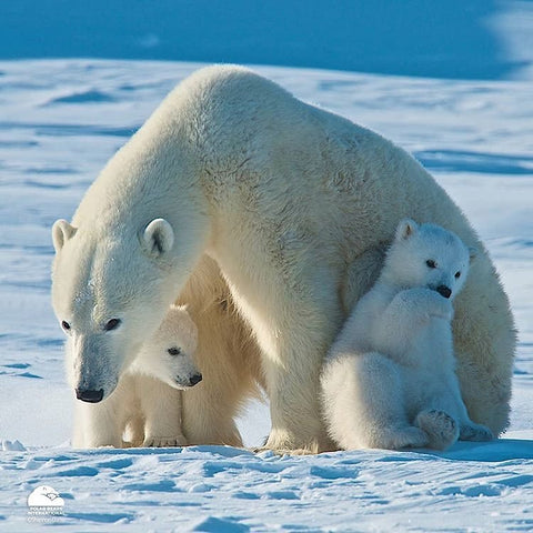 Bering Time has been supporting polar bear conservation since 2011