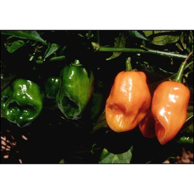 Seeds - Chile Habanero