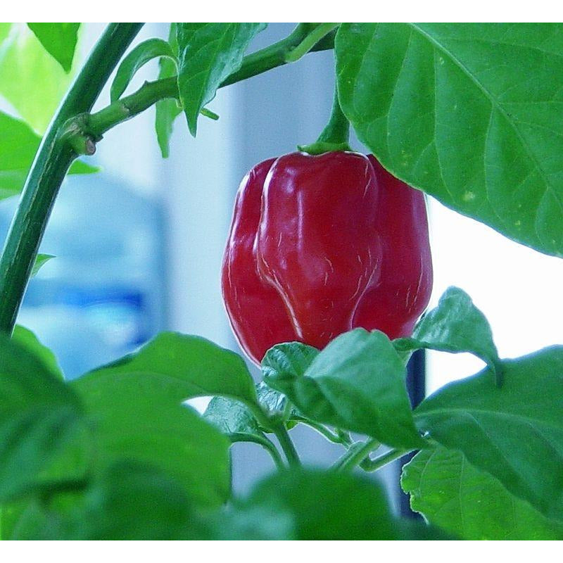 Seeds - Habanero Red Savina