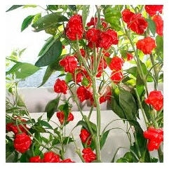 Seeds - Chile Scotch Bonnet RED