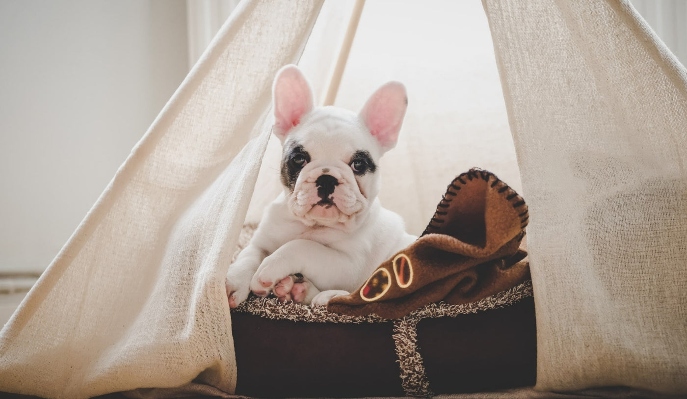 French Bulldog relaxing in a Dog Teepee from Estilo Living - Buy Pet Teepees Online & Other Pet Accessories