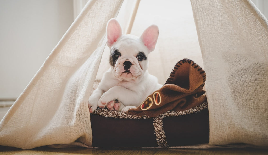 French Bulldog relaxing in a Dog Teepee from Estilo Living - Buy Dog Teepees Online & Other Pet Accessories