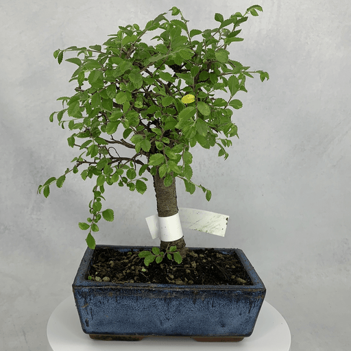 Bonsai Zelkova (Japanese Elm) (3)