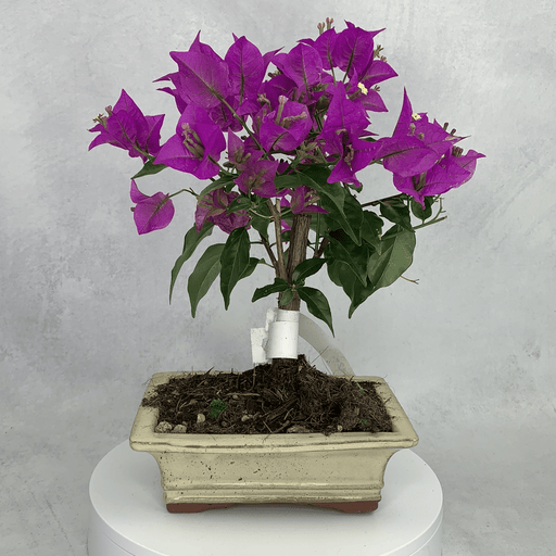Boungainvillea bonsai