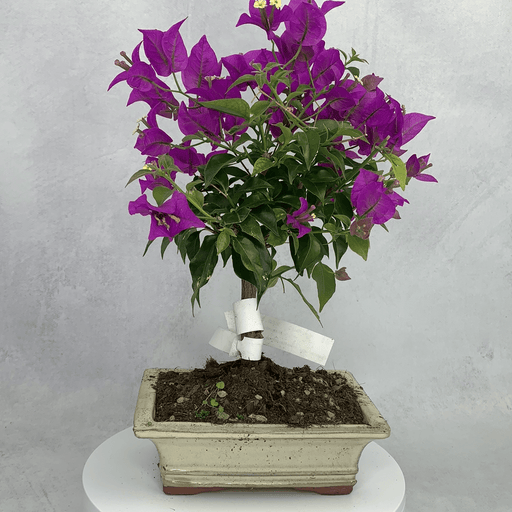 Boungainvillea bonsai tree (2)