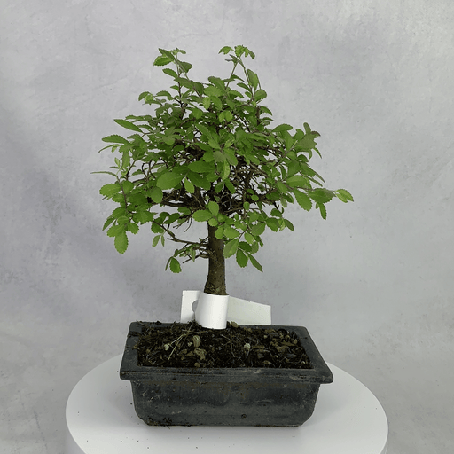 Bonsai Zelkova (Japanese Elm) (6)