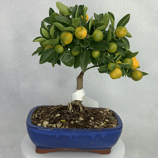 Bonsai Citrus