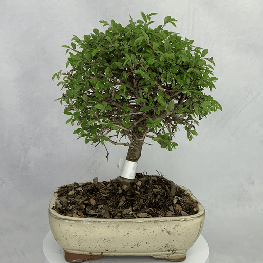 Bonsai Zelkova (Japanese Elm) (2)