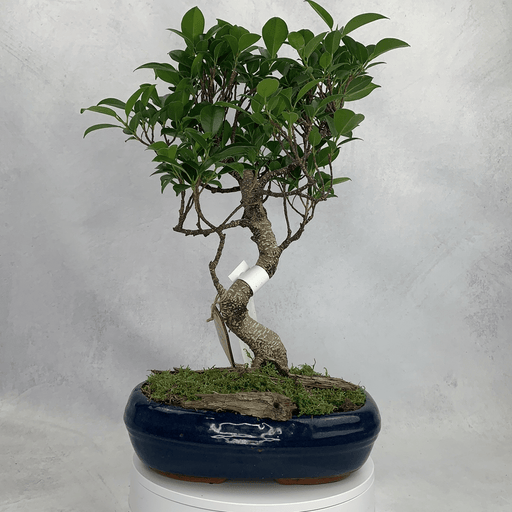Bonsai Ficus (3) Height 47 cm