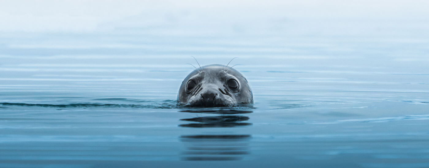 Seal poking head out of water in Iceland