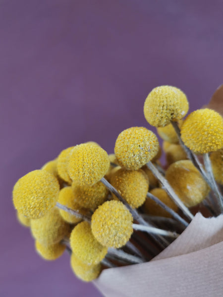 Craspedia natural yellow stems.. Billy button