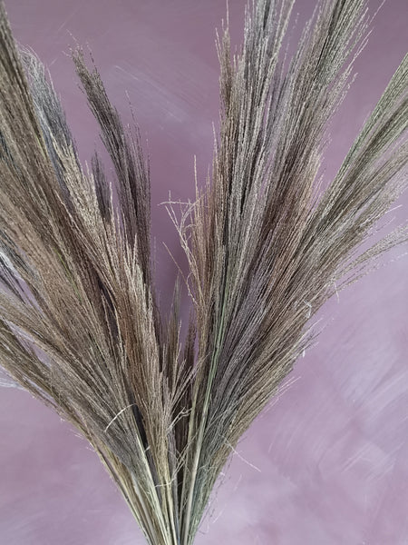 stunning dried gynerium  grass
