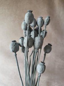 Dried grey poppy seed stems