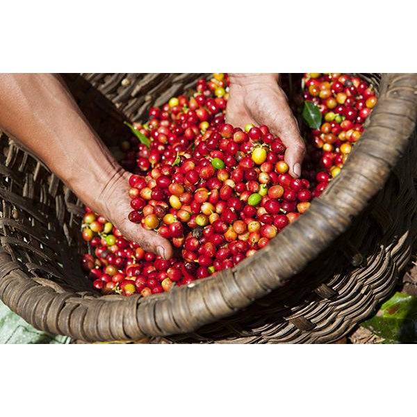 How Coffee is Grown and Harvested in Various Countries
