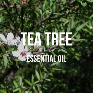Tea Tree Essential Oil (Indian)