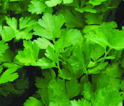 Parsley, flat leaf  Certified Organic