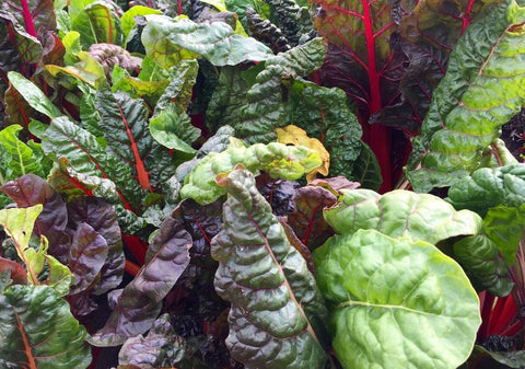 Chard, Rainbow Swiss NEW!