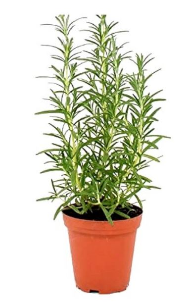 Rosemary, organic fresh- in clamshell (not live plant)