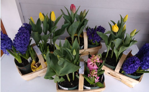 Plants: Spring Bulb Basket