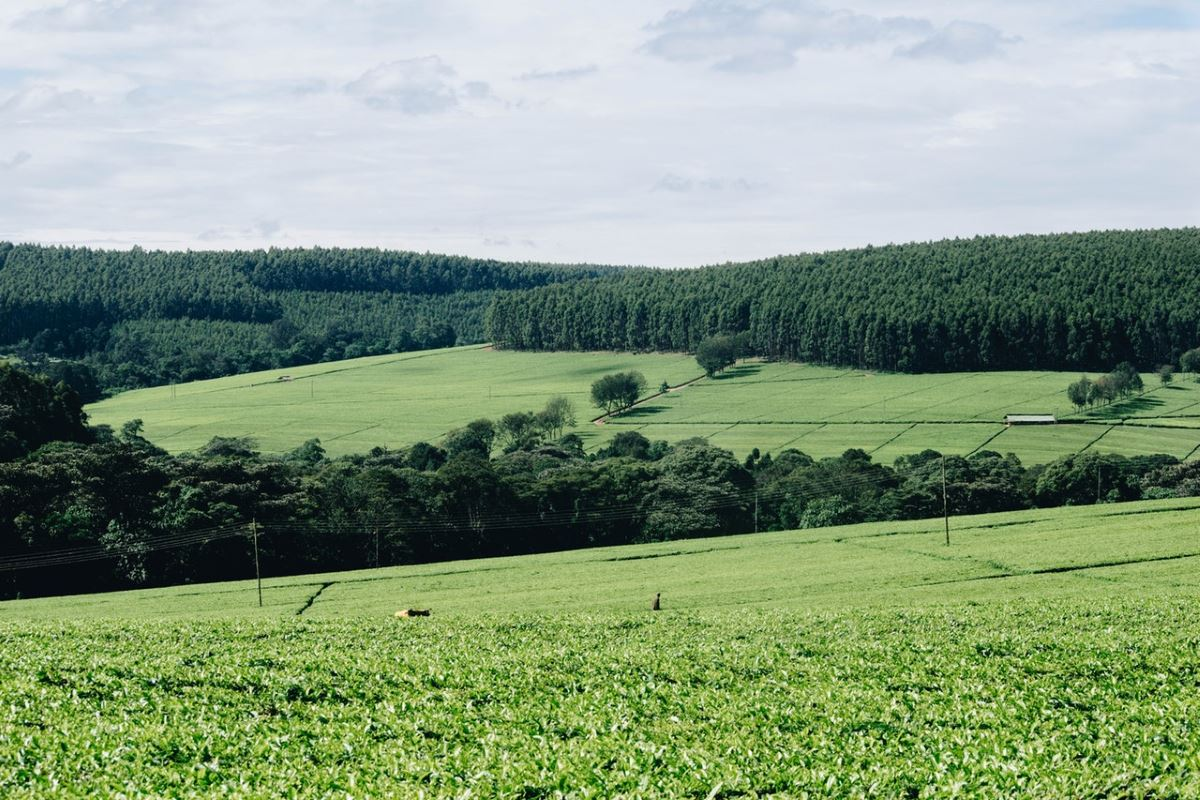 Tea Gardens in Kenya