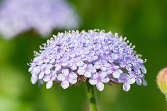 Icy Glen Cut Flower Seed Collection