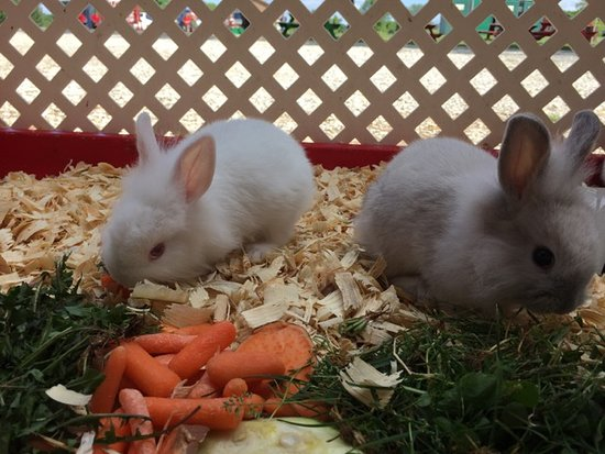Citronbunnies