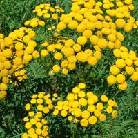 Blue Tansy Essential oil; Superingredient