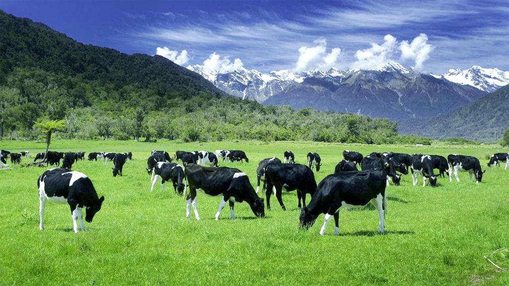 New Zealand grass-fed cows produce the best whey in the world.