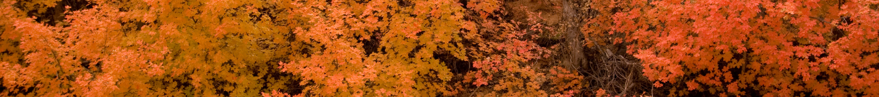 Maple Syrup Tree Leaves 2