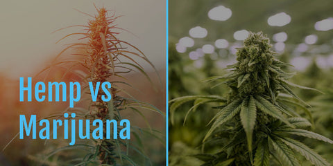 Hemp vs. Marijuana - what's the difference?