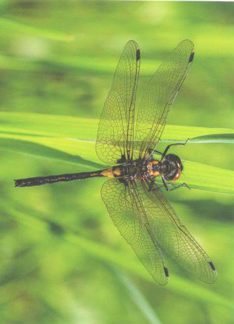 Belted Whiteface Dragonfly, Card by Olander