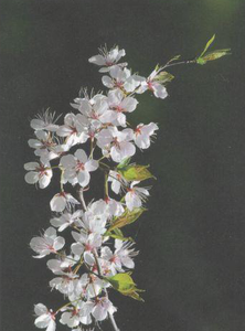 Wild Plum Blossoms, Card by Olander